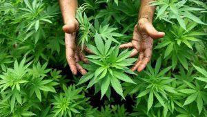 marihuana-planta