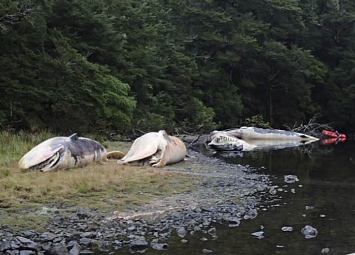 This April 21, 2015 photo released by Vreni Haussermann shows sei whales beached on the Gulf of Penas, Chile. About 20 whales have been found beached along Chile's southern coastline and officials say they are trying to determine what caused them to wind up on the beach. The International Union for Conservation of Natures lists the sei as an endangered species. (Vreni Haussermann, Huinay Scientific Field Station via AP)